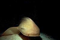 Variegated, Nurse, Shark, Ari, Atoll, Maldives, Stegosoma, varium