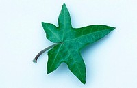 Ivy, leaf, Hedera, spec