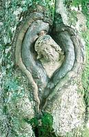 Balzer, Herrgott, Heiligenstatue, in, Baum, eingewachsen, Schwarzwald, Deutschland