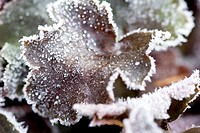 Heuchera leaves with hoar frost