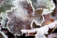 Heuchera leaves with hoar frost