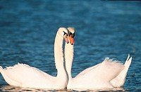 Mute, Swans, pair, courting, Germany, Cygnus, olor, side