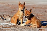 Dingo, puppies, Northern, Territory, Australia, Canis, lupus, dingo, Canis, familiaris, dingo
