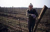Winter work in the vineyard, Winden, Burgenland, Austria