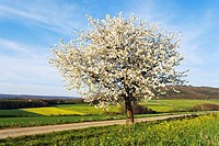 Cherry Tree in field