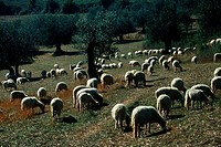 Flock, of, sheep, in, olive, grove, province, Siena, Tuscany, Italy, olive, trees,