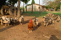 Domestic, Fowl, and, Domestic, Pigs, Pantanal, Mato, Grosso, Brazil, rooster, cock,