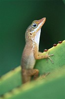 Watt's Anole (Anolis wattsi). Antigua, West Indies