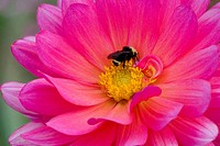 Dahlia, 'Karma Fuchsiana' with Bumble Bee,  close-up detail in private garden. Southern Oregon coast, USA