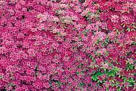 Royal Azalea Blossom,Korea