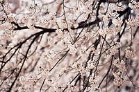 Cherrey Blossoms