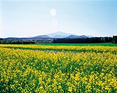 Rape flowers,Jeju Island,Korea