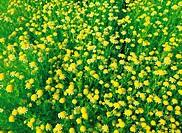 Wild FlowerErigeron Annuus,Korea