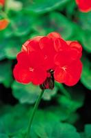 Geraniums,Herb