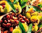 Chestnuts,Korea
