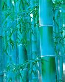 Close-up Of Bamboo,Korea
