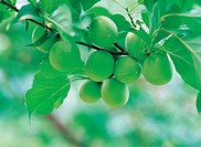 Japanese Apricots Hanging On The Tree,Korea