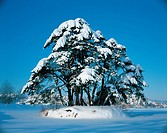 Snow Coverd Tree,Daegwallyeong,Gangwon,Korea
