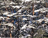 Snow-covered Trees,Korea