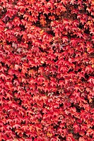 Tinged Autumnal Ivy