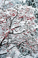 Snow-covered Persimmon Tree,Korea