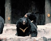 Bears,Korea