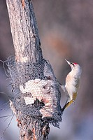 A Woodpecker,Korea