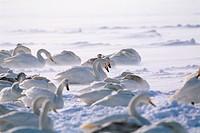 Whooper Swans,Hokkaido,Japan