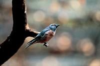 White-Browedwoodswallow,Australia