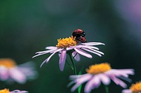 LadybirdCoccinella septempunctata,Korea