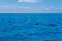 Dolphins,Maldive Islands