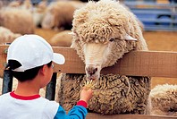 A boy feeding a Sheep,Daegwallyeong,Gangwon,Korea