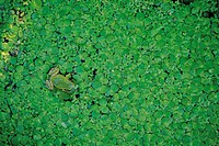 A Frog Surrounded By A Duckweed