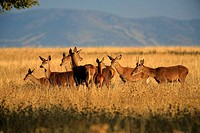 Red Deer (Cervus elaphus). Cabañeros. Spain