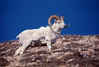 Dall´s Sheep, Denali National Park, Alaska, United Statue