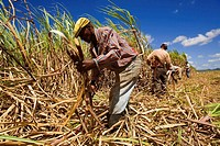 Sugar cane harvest. Dominican Republic