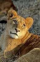 Lion Cub, Panthera leo, Sabi Sabi, Greater Kruger National Park, South Africa