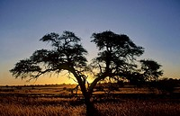 Camelthorn tree and sunset in Kalahari, Kgalagadi Transfrontier Park, South Africa