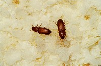 Confused flour beetles Tribolium confusum, possibly the most important pests of stored food products.