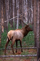 Wild bull elk Cervus elaphus in a forest regrowing after a fire in Yellowstone National Park, Wyoming, during the fall rut in September.