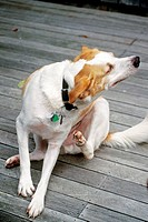 A mixed_breed dog scratching.