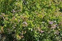 Californian lilac flowers Ceanothus x delileanus ´Gloire de Versailles´.