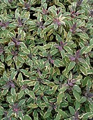 Variegated Sage Salvia officinalis ´Tricolor´.