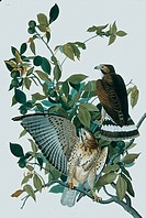 Broad_winged hawks Buteo platypterus from John James Audubon´s Birds of America, plate 91.