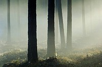 Trees with fog in the forest
