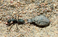 Antlion, also called a doodlebug, captures an ant in the southeastern US.