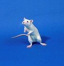 A white laboratory rat, breed Sprague Dawley, used in experiments for chemical and phamaceutical products.