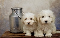 Milk churn with white dogs on a table