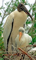 Wood Stork Mycteria americana adult in nest with young, southeastern Florida.