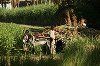 Farmers loading forage into a light cart along the canal of the West Bank